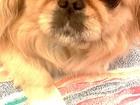 Скачать бесплатно фото Вязка собак Пекинес карликовый ищет кобеля для вязки, Срочно, Документы не нужны 39743737 в Томске