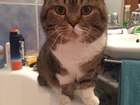 Свежее foto Вязка кошек Ищем британскую кошечку для вязки, Расчет котенком , 53425432 в Томске