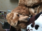 Уникальное изображение Вязка собак Вязка карликовых пуделей в Томске 61769922 в Томске