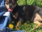 Увидеть фото Вязка собак Ищем кобеля для девочки мини-тоя,возраст 5 лет 67641318 в Томске