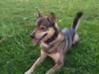 Просмотреть фото Вязка собак Энергичный красивый пес ищет подругу 67674241 в Томске