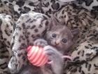 Свежее изображение Отдам даром - приму в дар Отдам котят в хорошие руки 70000498 в Томске