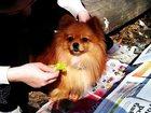 Изображение в Собаки и щенки Вязка собак Тула. Предлагается для вязки кобель немецкого в Туле 5000