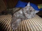 Просмотреть foto  Британский кот готов для вязки с вашей кошечкой 33149430 в Туле