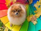 Изображение в Собаки и щенки Вязка собак Шикарный кобель для вязки (немецкий шпиц в Туле 1000