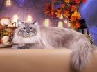 Фотография в Кошки и котята Вязка Невский маскарадный титулованный (Gr. Int. в Туле 3000