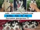 Фотки и картинки Сибирский хаски смотреть в Туле