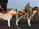 Фотография в Собаки и щенки Продажа собак, щенков Голубоглазые Хасята. Свободных осталось трое: в Твери 15000