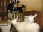 Уникальное изображение Другие животные Продам поросят, козлят, крольчат и калифорнийских червей 38766628 в Твери
