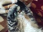 Просмотреть foto  Невак Тессик ищет кошечку для вязки 60917134 в Твери
