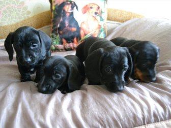 Скачать бесплатно изображение Собаки и щенки Щенки таксы 32410714 в Твери