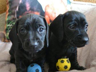 Просмотреть foto Собаки и щенки Щенки таксы 32410714 в Твери