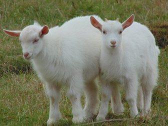 Новое фотографию Другие животные Очень породная козочка, 34060585 в Твери