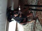 Фотография в Собаки и щенки Продажа собак, щенков Продам щеночка карликового пинчера мальчик, в Уфе 50000