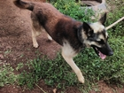 Фотография в Собаки и щенки Продажа собак, щенков Отдаем в добрые руки собаку смесь с овчаркой, в Уфе 0