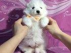 Фото в Собаки и щенки Продажа собак, щенков Хорошенькие очаровательные щеночки самоедики! в Уфе 0