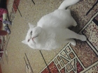 Изображение в Кошки и котята Вязка белая кошка два годика ищет кота такого же в Уфе 0