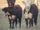 Новое foto Другие животные Племенные телки и нетели герефордской породы 38011072 в Уфе