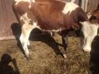 Свежее изображение Разное Телята (бычки) симментальской породы 40612889 в Уфе