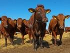 Новое foto Другие животные Телки породы Красная Степная 67672908 в Баймаке