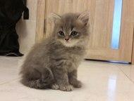 Британские котята Продаются британские котята, к лотку приучены. рождены 25 июля