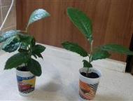 Отдам в добрые руки мушмулу домашнюю в горшочке Растение еще маленькое. Вырастет
