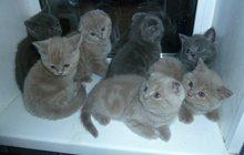 Продам шотландских котят в хорошие и добрые руки