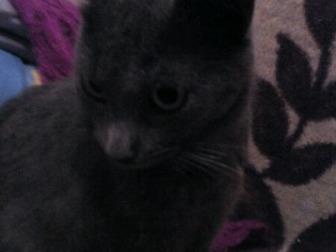 Увидеть foto  Кошка русская голубая 37502990 в Уфе