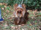 Изображение в Собаки и щенки Продажа собак, щенков Предлагается на вязку молодой , перспективный в Москве 0