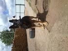 Уникальное foto Вязка собак Кобель немецкой овчарки ищет подругу в Улан-Удэ 38379414 в Улан-Удэ