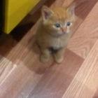 Рыжий котёнок в дар