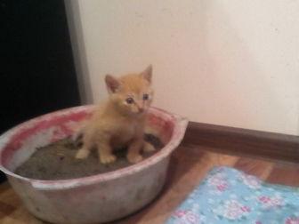 Новое foto Отдам даром - приму в дар рыжий котёнок в дар 38801000 в Улан-Удэ