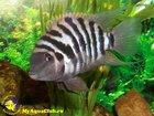 Просмотреть фото Аквариумные рыбки Чернополосая цихлазома 33311431 в Ульяновске