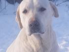 Фотография в Потерянные и Найденные Найденные Нашли собаку породы лабрадор, девочка. на в Ульяновске 0