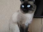 Увидеть foto  Вязка с китайским котом 38955996 в Ульяновске
