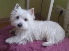 Скачать бесплатно фотографию Вязка собак Ищу суку для вязки, Кабель два с половиной года, В отличном состоянии,но без опыта, вест хайленд вайт терьер, 39344604 в Ульяновске