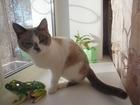 Фотография в   Кошечке сноу-шу нужен кот, возможно вязка в Усолье-Сибирском 0