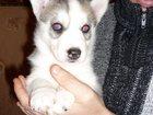 Фотография в Собаки и щенки Продажа собак, щенков Породам щенков хаски . мальчики и девочк в Валуйках 10000