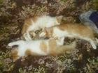 Фото в Отдам даром - Приму в дар Отдам даром В хорошие добрые руки прекрасные котики, в Валуйках 0