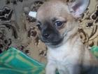 Изображение в Собаки и щенки Продажа собак, щенков продам малыша чихуахуа , крепкий , красивый в Вичуге 9000