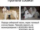 Фотография в Потерянные и Найденные Потерянные 9 мая, в районе Факела, пропал кобель сибирский в Владимире 0