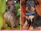 Изображение в Собаки и щенки Продажа собак, щенков Недорого продам чистокровных щенков карликового в Владимире 9000