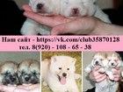 Фотография в Собаки и щенки Продажа собак, щенков Продаются щенки АКИТА-ИНУ, выращенные в любви в Владимире 45000