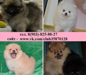 Изображение в Собаки и щенки Продажа собак, щенков Померанского шпица красивых щеночков, даже в Владимире 111