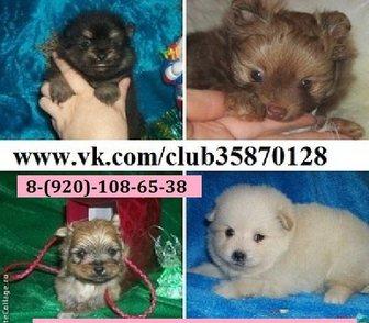Фото в Собаки и щенки Продажа собак, щенков В продаже щеночки померанцы! Недорого от в Владимире 0