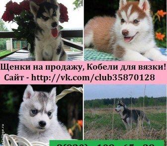 Фотография в Собаки и щенки Продажа собак, щенков Породистые хасята продам недорого от 10 тысяч! в Владимире 0