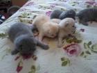 Фотография в   Продаю шотландских котят, есть фолды, есть в Волгодонске 3000
