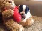Смотреть фото Собаки и щенки Продам щенков 32354857 в Волгограде