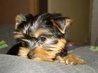 Фото в Домашние животные Услуги для животных Профессиональный грумер подстрижет вашего в Волгограде 0