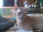 Фото в Кошки и котята Продажа кошек и котят В Волгограде у замечательных, стильных современных в Волгограде 2950